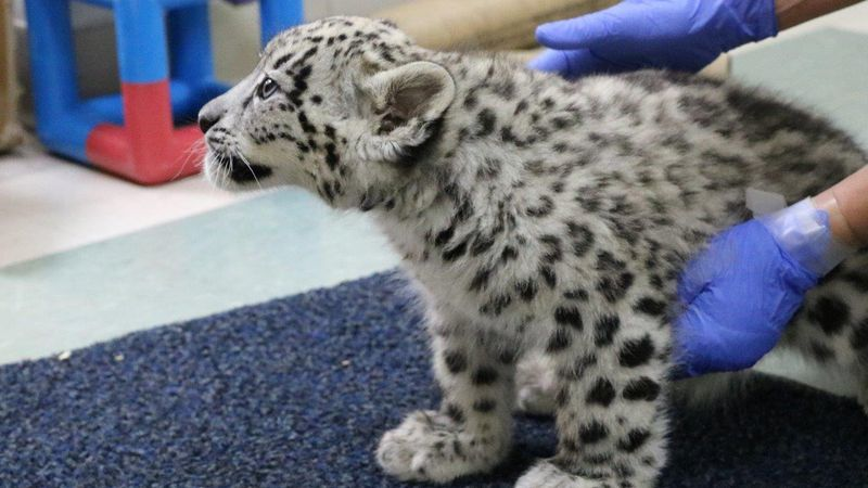 "Two snow leopards cubs have recovered from ""swimmer's syndrome"" and will be the focus of a..."