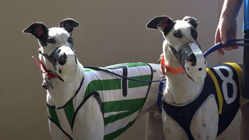 Two greyhounds before a race at the Iowa Greyhound Park in Dubuque. (Aaron Scheinblum/KCRG)
