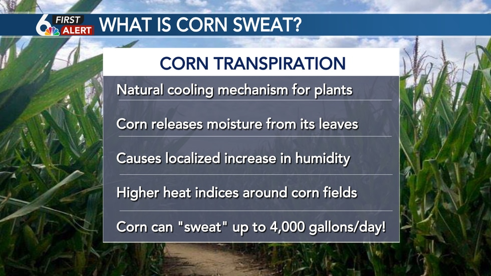 Corn can sweat up to 4,000 gallons a day!