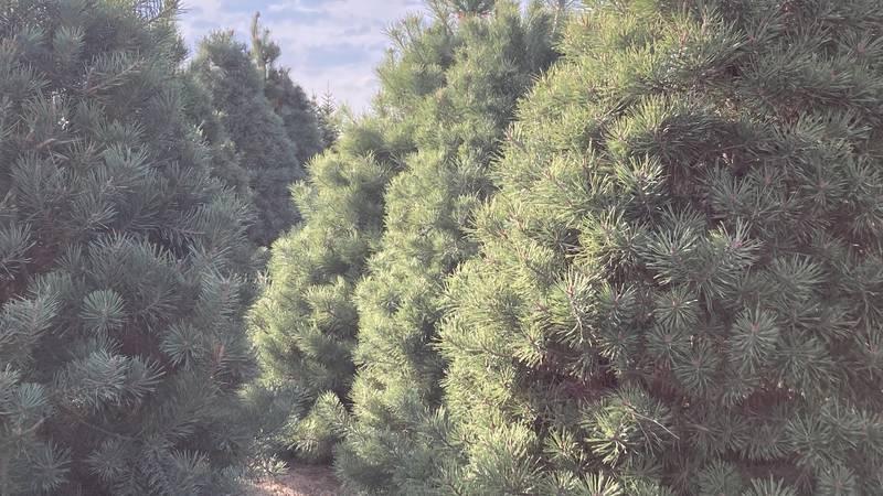 Santa's Woods trees ready for harvest