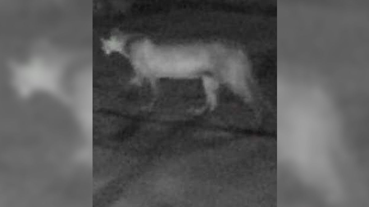 Authorities are asking residents to be on the lookout for a mountain lion seen near Gretna on Friday, Jan. 10, 2020. (Courtesy of Sarpy County Sheriff's Office)