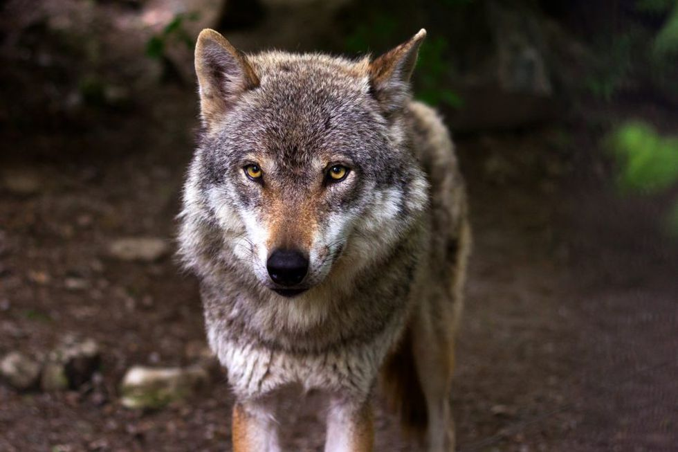 Testing confirms a gray wolf killed north of Fremont