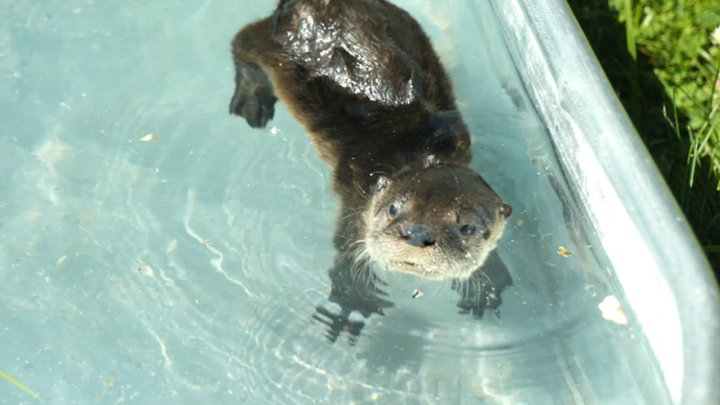For more than 20 years, Nebraska Wildlife Rehab has never had a baby otter in its care. That...