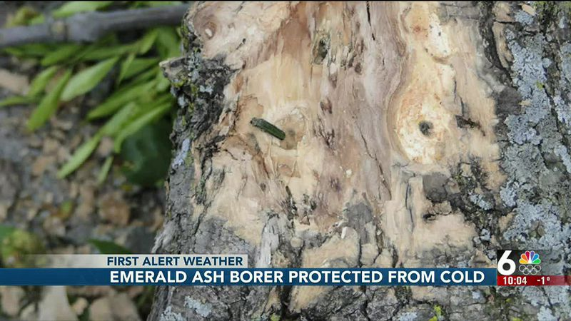 Emerald Ash Borer protected from cold