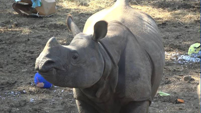 Marshall, the Indian Rhino, celebrated his second birthday.