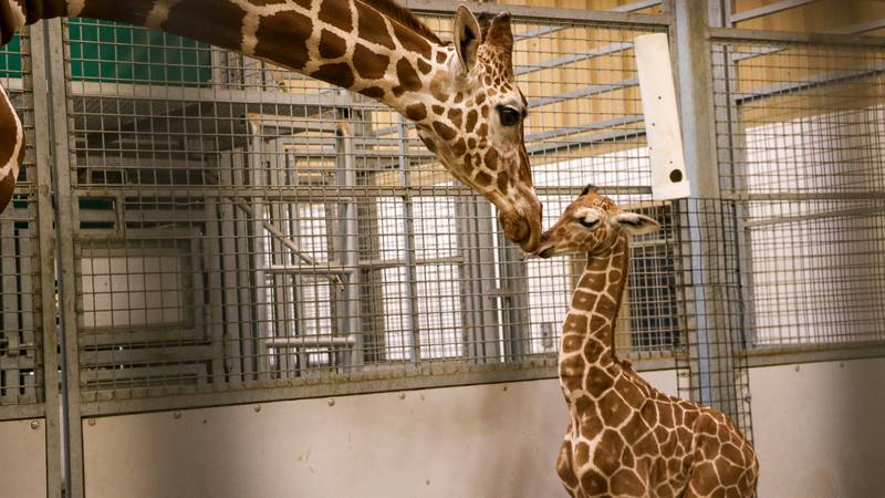 Omaha's Henry Doorly Zoo and Aquarium announced Monday, Aug. 2, 2021, that a baby giraffe was...