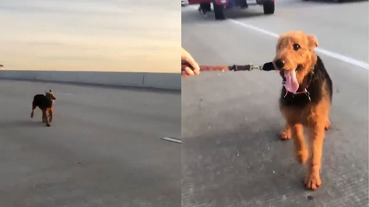 Drivers in Houston, Texas, stopped along a busy highway to catch a dog that darted into...