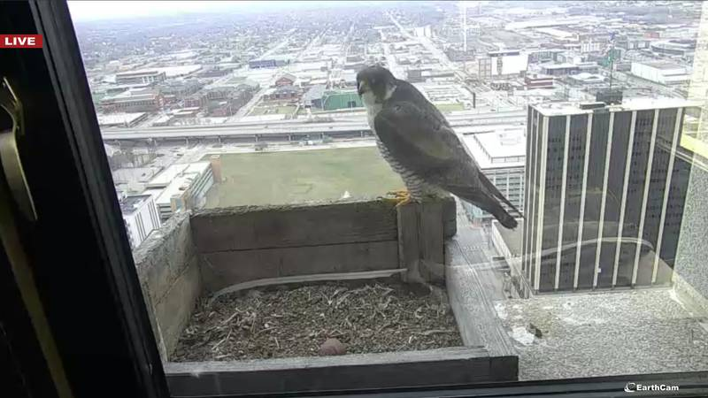 A peregrine falcon stands over the nest -- now with one egg -- on the 28th-floor of...